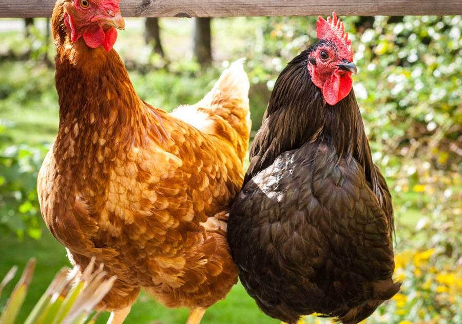 raising chickens the organic way